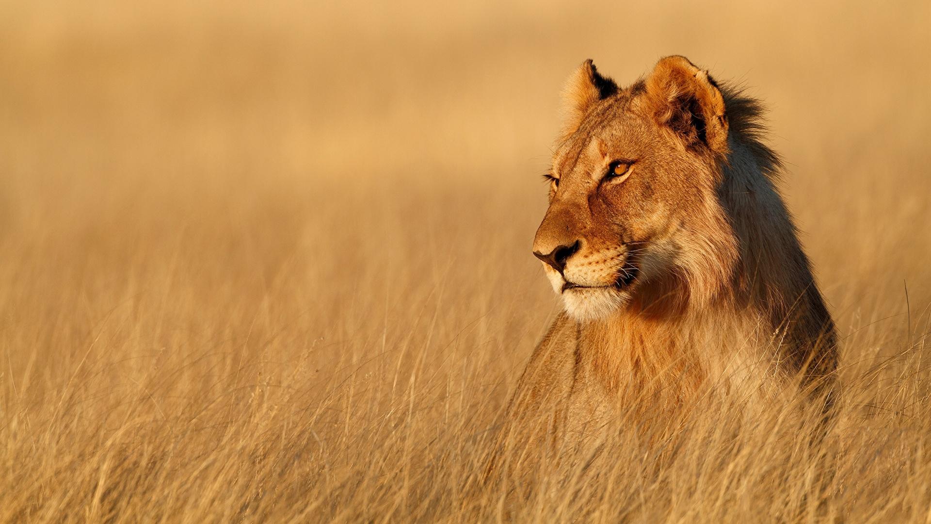 Lions_Lioness_deoadventure