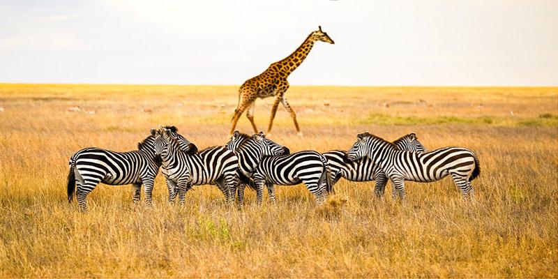 Zebra ,giraffe at ngorongoro -deoadventure