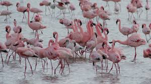 beautiful flamingos-deoadventure