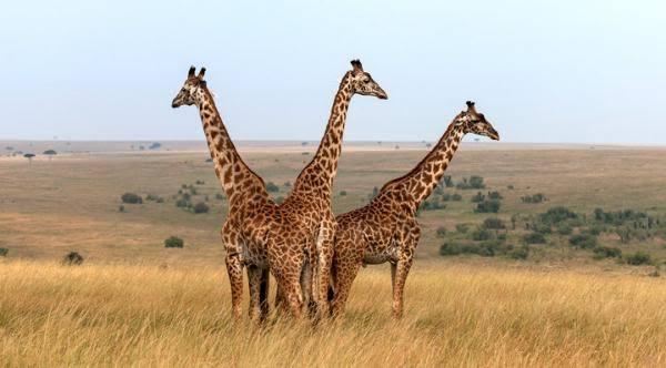Giraffe at Selous Game Reserve- deoadventure