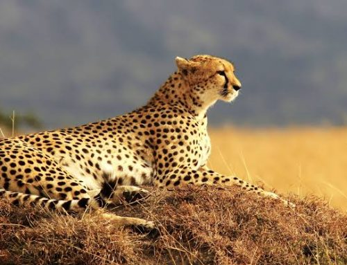 13 nights,14 days Safari to Arusha, Tarangire, Lake Manyara, Lake Eyasi,    Serengeti & Ngorongoro