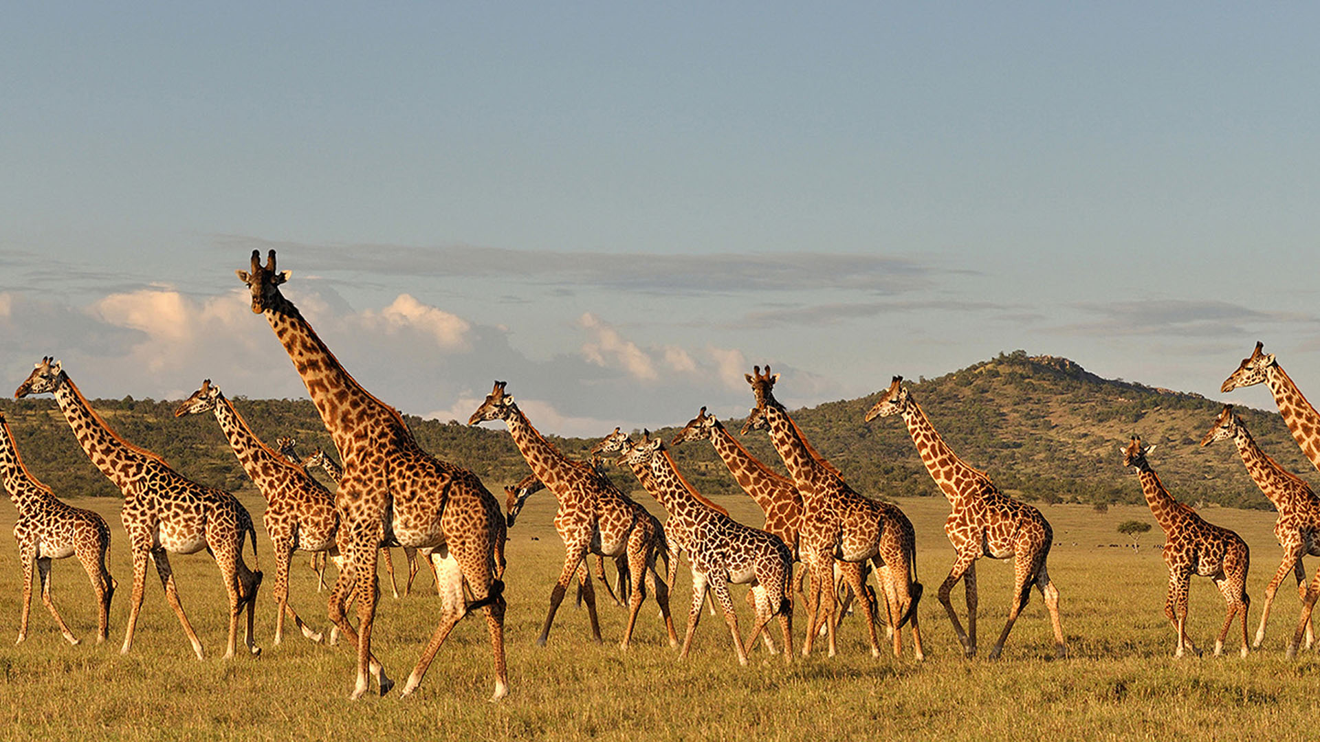 group of moving giraffe-deoadventure