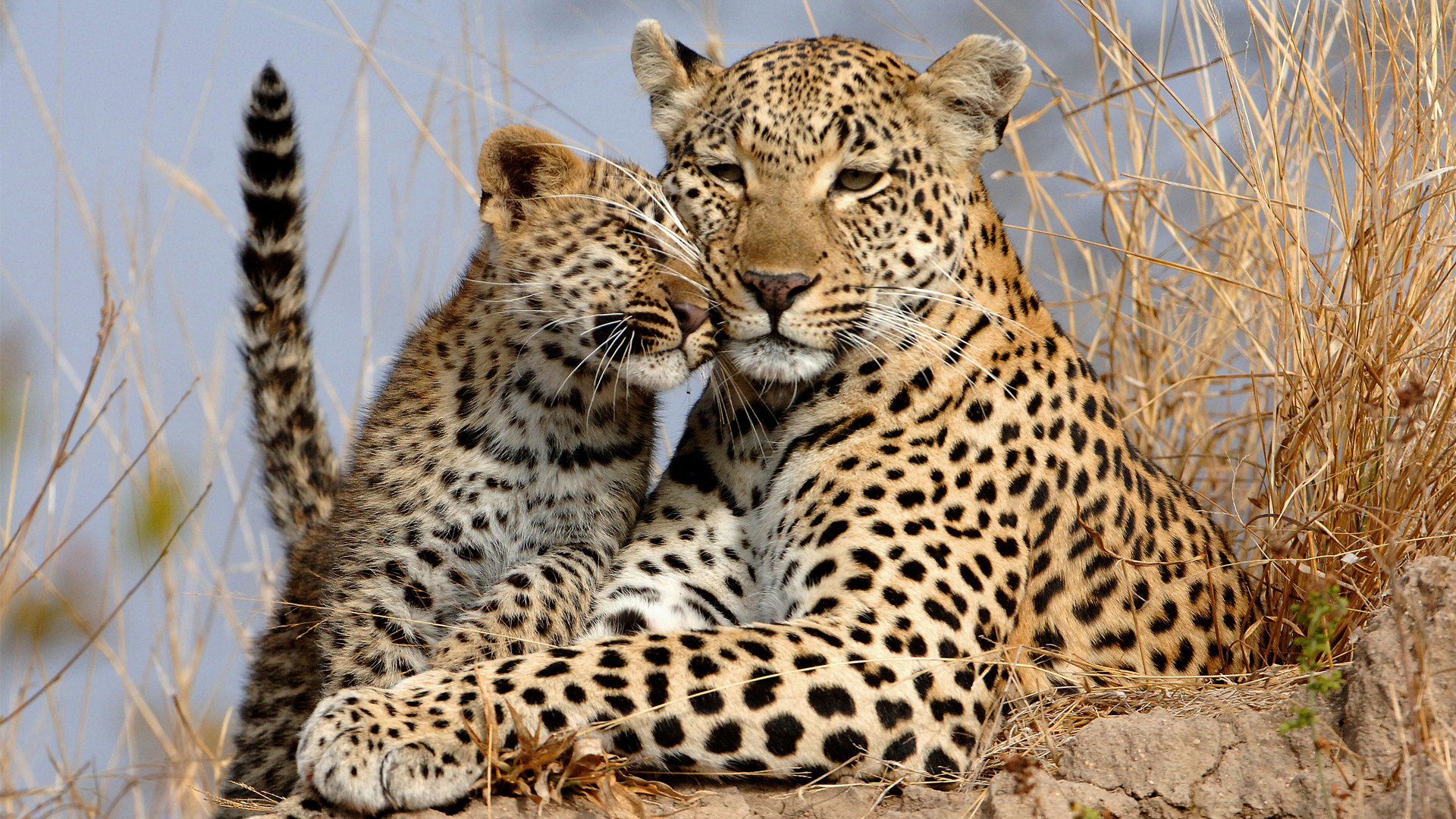 leopard-and-cub-showing-affection-care-of-the-wildlife-deoadventure